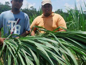 Rumput Ternakan Jana Pendapatan Lumayan