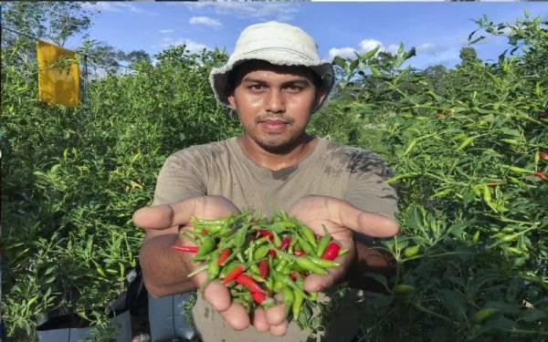 Pengusaha Cili, Pemuda Raih Pendapatan Lima Angka